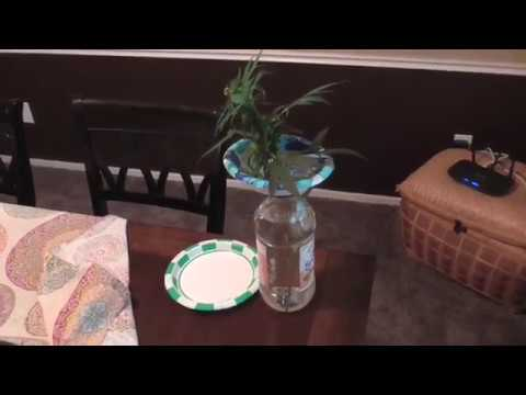 How-To make Feminized seeds Using Tiresias (Colloidal Silver) Step-By-Step