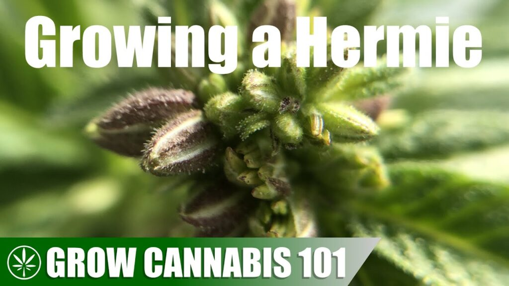 Making a Hermie Plant with Colloidal Silver