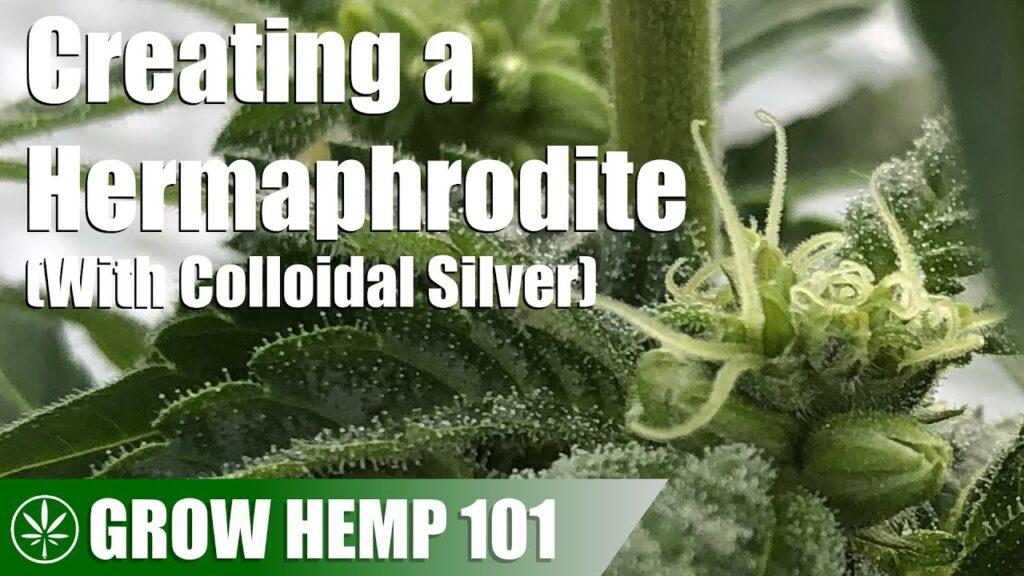 Using Colloidal Silver to Make a Hermaphrodite Plant
